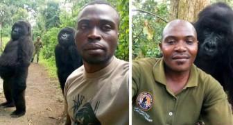 I gorilla sopravvissuti al bracconaggio posano per dei selfie con i rangers del parco in Congo