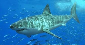 Der große weiße Hai steht nicht mehr an der Spitze der Nahrungskette: Ein anderes Raubtier überholt ihn
