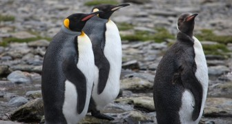 Die zweitgrößte Kolonie von Kaiserpinguinen der Welt ist aufgrund des Klimawandels verschwunden
