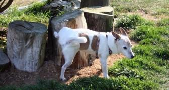 Waarom krabben honden over de grond als ze hun behoeften hebben gedaan?