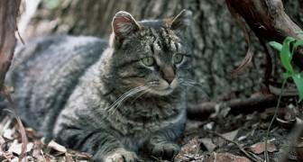 L'Australie veut éliminer 2 millions de chats en jetant des saucisses empoisonnées depuis les airs