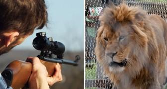 Des lions élevés dans des cages puis tués pour le plaisir des chasseurs : une horrible réalité dévoilée