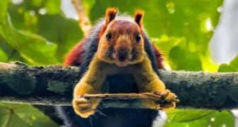 Inde : un photographe capture de magnifiques images de l'écureuil multicolore qui peut atteindre un mètre de longueur