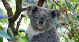 Forscher erklären Koalas für funktionell ausgestorben: Wir erklären, was das bedeutet