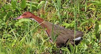 """Een vogel die 136.000 jaar geleden is uitgestorven, is """"herrezen"""" dankzij het fenomeen van de iteratieve evolutie"""