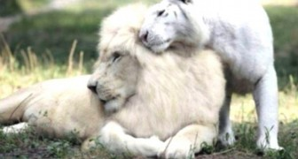 Four liger cubs are born as the result of cross breeding between a white lion and a white tiger