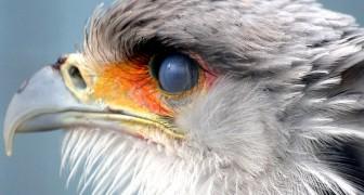 L'uccello segretario: tutti i segreti del rapace che sembra uscito da un film della Pixar