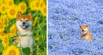 Le foto di questo cane in estasi tra i campi fioriti sono una più bella dell'altra