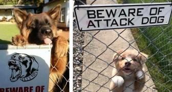 20 esilaranti immagini di cani minacciosi fotografati dietro al cartello Attenti al cane
