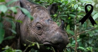 Le dernier rhinocéros mâle de Sumatra est mort en Malaisie : l'extinction est imminente