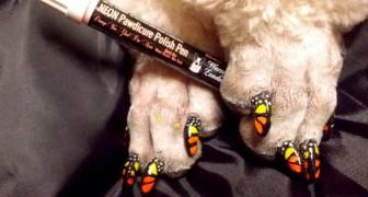 Nagels lakken van honden en katten voor esthetische doeleinden: de nieuwe absurde manier die risico's verbergt