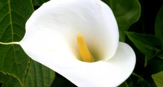 La calla: ecco le sue origini e il perché è considerata il fiore più elegante di tutti