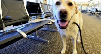 Als je wordt benaderd door een geleidehond zonder baasje, moet je hem niet aaien: dit is wat je METEEN moet doen
