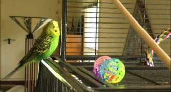Un pappagallo che ha ascoltato un po troppa musica dance