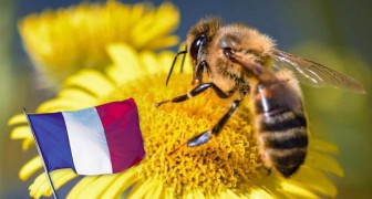 Frankreich steht auf der Seite der Bienen: Der Einsatz der 5 für ihre Vernichtung verantwortlichen Pestizide ist verboten