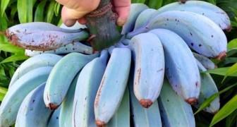 La banana di Java: il gustoso frutto blu che sa di gelato alla vaniglia