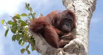 Ein schwangerer Orang-Utan flüchtet sich auf den letzten Baum, während die Bulldozer seinen Wald zerstören