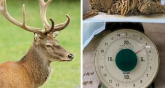 I veterinari trovano un cervo con 4 chili di plastica nello stomaco: la colpa è tutta dei turisti incivili
