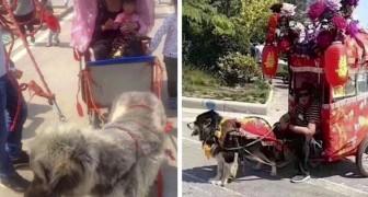 De absurde gewoonte van taxihonden, gedwongen om karren vol met mensen te vervoeren