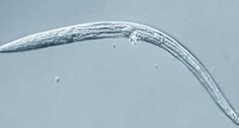 Deze bevroren wormen zijn na 40.000 jaar ontwaakt