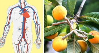 An infusion prepared with this leaf can be a real cure-all for the kidneys and blood circulation