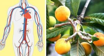 Een infuus bereid met dit blad kan een echte remedie zijn voor de nieren en de bloedsomloop