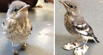 Ein kleiner Vogel mit einer Behinderung erhält orthopädische Schuhe, die sein Leben retten