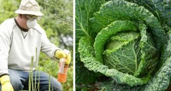 Il cavolo riccio è entrato nella lista delle verdure più contaminate dai pesticidi