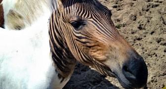 Ecco lo zebrallo, il particolare equino a metà strada tra una zebra e un cavallo