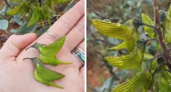 Les pétales de cette fleur ressemblent étrangement à des colibris