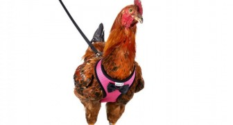 Amazon is selling a leash for walking pet hens! It is adjustable and comes in 5 different colors!