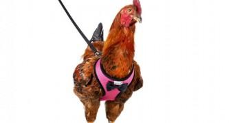 Amazon heeft een riem te koop om met kippen te wandelen: het is verstelbaar en in 5 verschillende kleuren