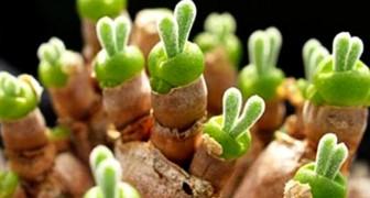 Hier ist die Pflanze, die wie ein Hase aussieht, der Ihrem Garten eine magische Note verleiht!
