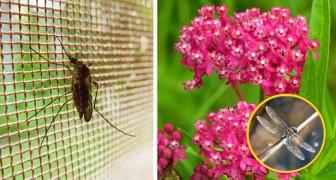 Är du invaderad av myggor? Odla då de här växterna i din trädgård och få oväntade resultat