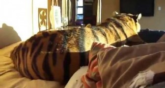 Dormir avec un tigre? Pourquoi pas!