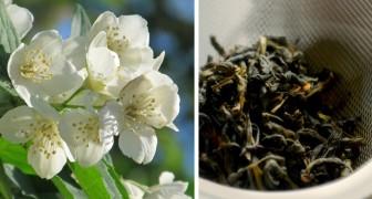 Descubra todos os segredos do Jasmim e do seu perfume: uma planta com mil propriedades benéficas