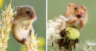 Un photographe immortalise la vie secrète des souris des moissons : les clichés sont trop craquants