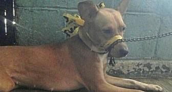 Der Hund bellt zu viel, also bindet der Besitzer seine Schnauze mit Klebeband zu