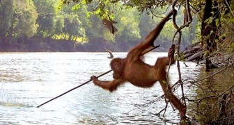 Sie fotografieren einen Orang-Utan, der mit einem Speer fischt: Die Realität überwindet Science-Fiction