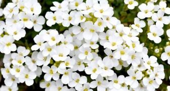 O jasmim: perfeito para a sua casa, o seu perfume reduz o estresse e ajuda no sono