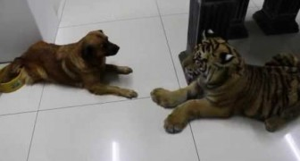 The tiger is frightened by a dog, he's the boss in the house !