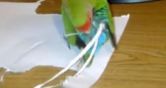 Il pappagallo che si crea da solo una fantastica extension alla coda