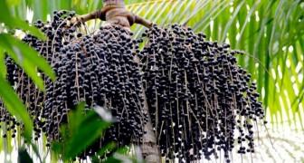 Bacche di açai: ecco tutti i benefici del frutto esotico che fa bene al nostro organismo