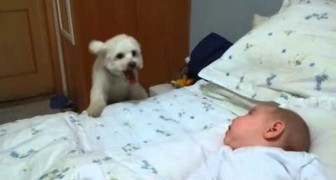 The tireless puppy tries its best to reach the baby on the bed