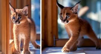Tutti i segreti del Caracal, l'elegante gatto del deserto dal fascino irresistibile