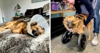 Die Geschichte von True, dem Hund, dessen ehemaliger Besitzer seine Vorderbeine zur Bestrafung abgeschnitten hat