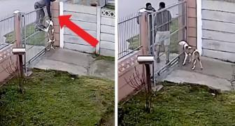 Cercano di rubare il pitbull, ma le telecamere avvisano il padrone che lo salva per un soffio