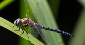 Die Weibchen dieser Libelle tun so, als wären sie tot, damit sich die Männchen ihnen nicht nähern