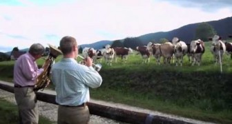 The unusual reaction of cows listening to jazz