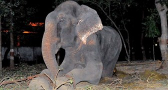 Raju the elephant is rescued from captivity